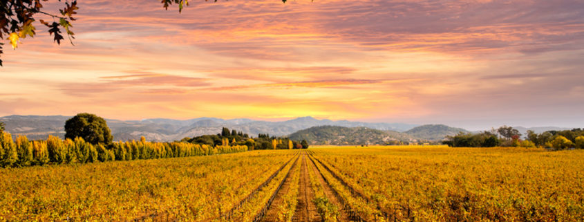 Napa Valley vineyard, California.