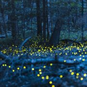 Synchronized Fireflies at Congaree National Park