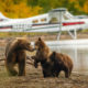 Mama bear walking with her two cubs on the beach of Naknak lake in Alaska.