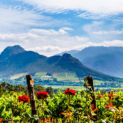 Vineyards of the Cape Winelands.