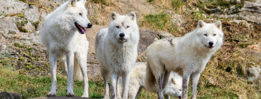 Arctic Wolves at Parc Omega in Canada.