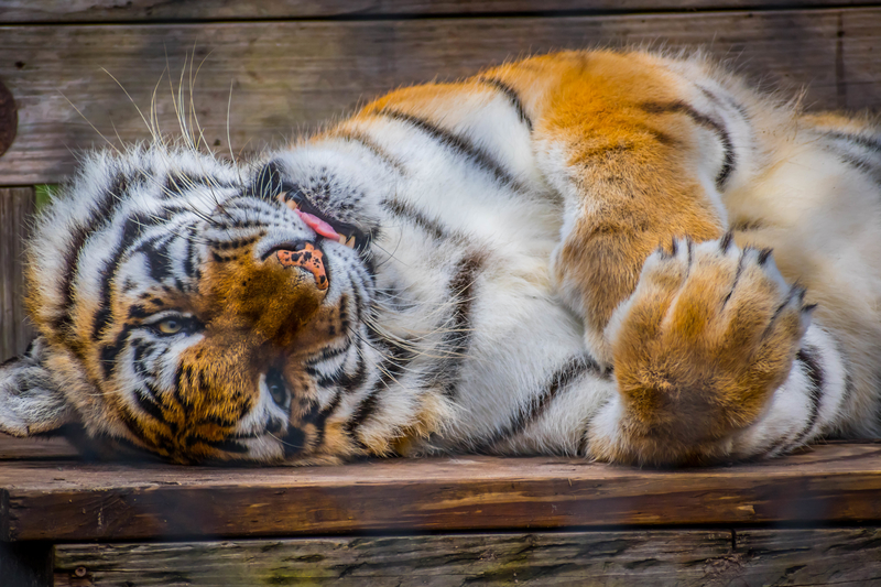 A large tiger relaxing inside there fences in Catty Shack Ranch Wildlife Sanctuary.