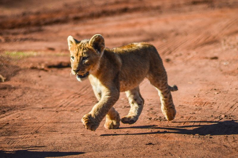 Brown lion cubs running and playing in a nature reserve in Johannesburg South Africa.