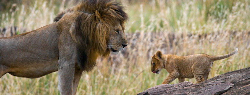 Male lion with cub at the Masai Mara Reserve, Serengeti.