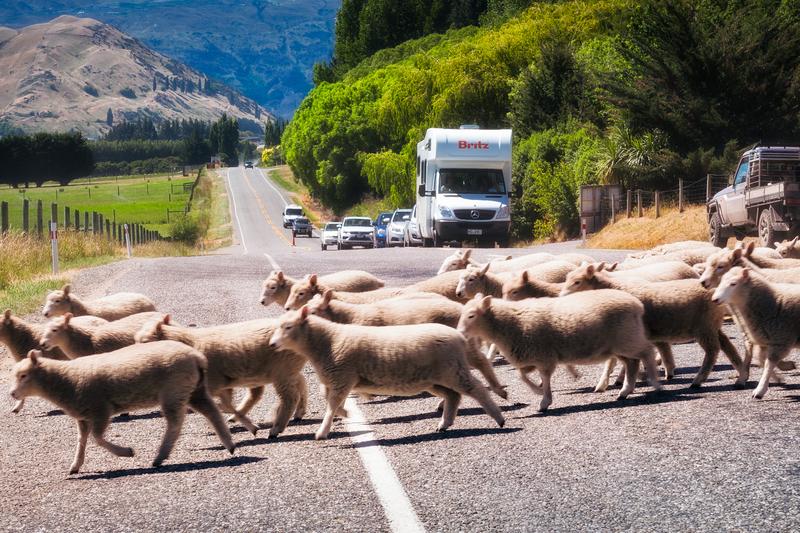 Rush hour in New Zealand.