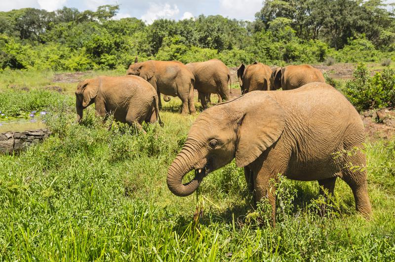 Baby elephants in the Sheldrick Wildlife Trust Orphanage of Nairobi National Park, Kenya.
