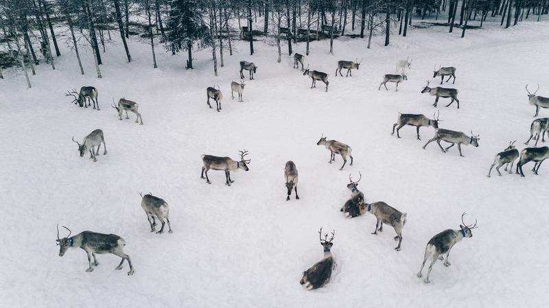 Reindeer herd in Lapland.