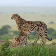 Two Cheetahs on a mount in Maasai Mara, Kenya, Africa