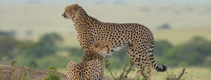 Two Cheetahs on a mount in Maasai Mara, Kenya, Africa