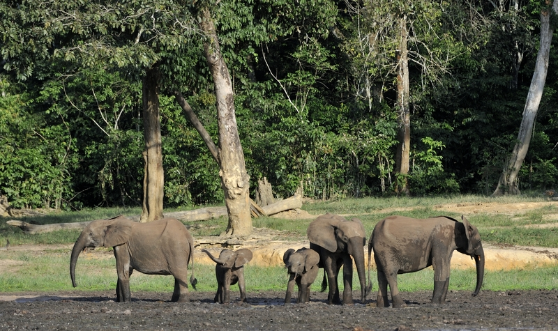 The African Forest Elephant, Loxodonta africana cyclotis, (forest dwelling elephant) of Congo Basin, Africa.