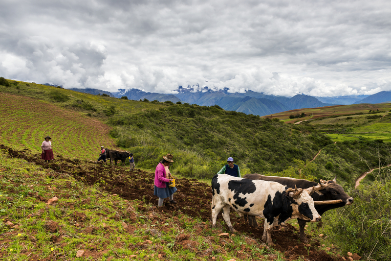 Peruvian family plowing the land close to the Moray Inca Terraces, near Maras, in the Sacred Valley, Peru.
