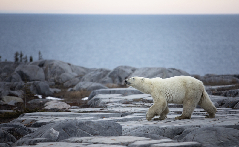 Manitoba Polar Bear. Photo: Lynn Bystrom | Dreamstime.com